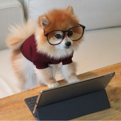 Pomeranian wearing glasses at computer