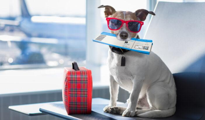 Cute dog wearing sunglass with aline ticket in its mouth and sitting on airplane