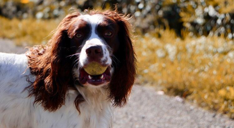 Springer Spaniel with tennis ball in its mouth