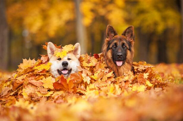 Dogs playing in fall leaves