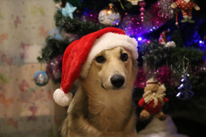 Dog wearing stocking cap in front of Christmas tree