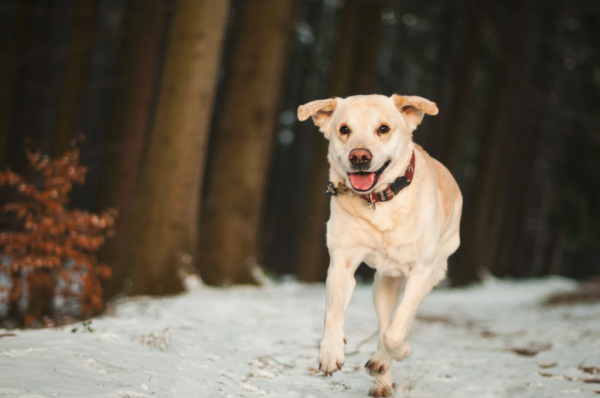 Smiling dog running in snow