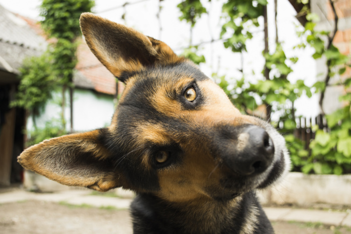 Close-up of German shepherd tilting head